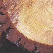 パンフェノン_フランス海岸松樹皮抽出物